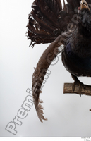 Western capercaillie back wings 0004.jpg
