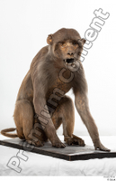 Monkey  2 whole body 0002.jpg