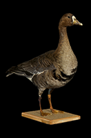 Greater white-fronted goose Anser albifrons 3D Scan